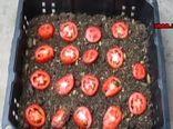 نحوه کشت و تولید گوجه فرنگی در منزل