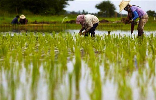برنج باسماتی هند