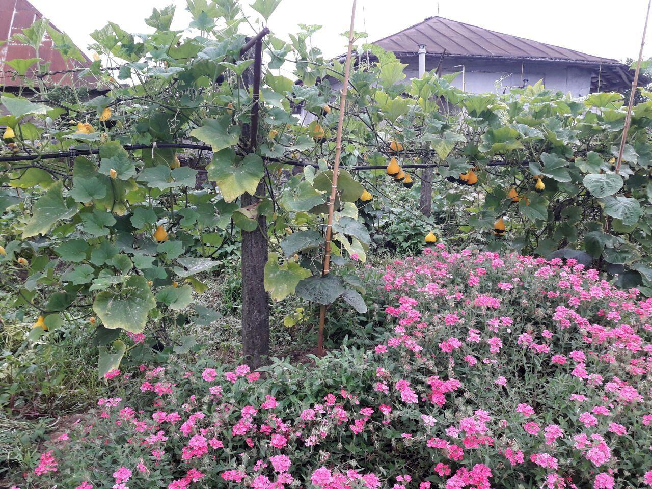 ابتکار کشاورزی در کشت توام چند محصول