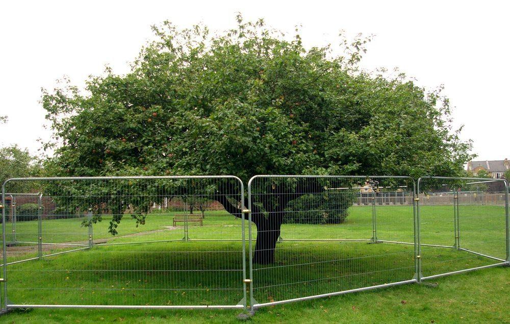 newtons-apple-tree-62