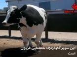 130 رأس گاو با نژاد سمینتال در دامغان تلقیح شد